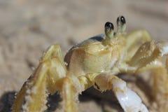 Geist-Krabbe Stockbilder