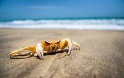 Geist-Krabbe Stockfotos