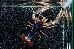 Geist Panzerkrebse Procambarus Clarkii auf schwarzem Onyxfelsen Stockbilder