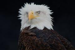Geist stellte Raubvogel gegenüber Stockfotografie