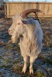 Geit in boerderij Royalty-vrije Stock Afbeelding