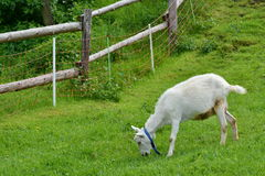 Geit (Capra) Stock Foto