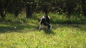 Geit in de weide De geit eet gras op een groene weide stock video