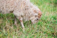 Geit die gras eet Stock Afbeeldingen