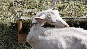 Geit die hooi in het boerenerf eten stock video