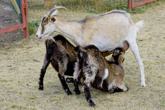 Geit die hun jonge geitjes op het landbouwbedrijf voeden Stock Fotografie