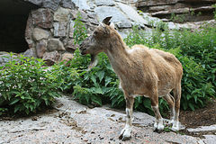 Geit in dierentuin Royalty-vrije Stock Foto's