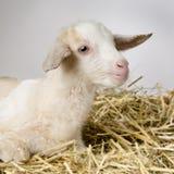 Geit en haar jonge geitjes stock foto
