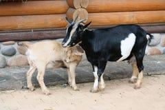 Geit en jong geitje Stock Foto's