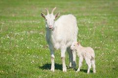 Geit en jong geitje Royalty-vrije Stock Afbeeldingen