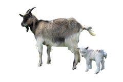 Geit en jong geitje op de witte achtergrond wordt geïsoleerd die Royalty-vrije Stock Foto