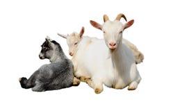 Geit en jonge geitjes Stock Afbeeldingen