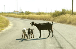 Geit en jonge geitjes Royalty-vrije Stock Afbeeldingen