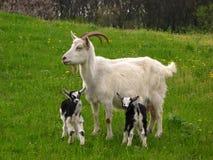 Geit en jonge geitjes Stock Foto's