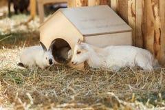 Geit en konijn dichtbij het houten plattelandshuisje Royalty-vrije Stock Fotografie