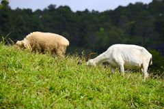 Geit en schapen stock afbeeldingen