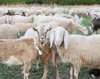 Geit en schapen Stock Fotografie
