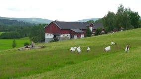 geit en schapenkuddemening bij Noors plattelandsdorp, Noorwegen stock videobeelden