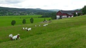 geit en schapenkuddemening bij Noors plattelandsdorp, Noorwegen stock footage