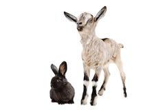 Geit en zwart konijn samen Royalty-vrije Stock Afbeeldingen