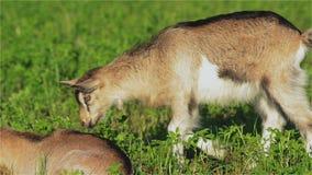 Geit, Goatling, Kiddy, Jong geitje, Snuit, Ogen, Bruin Kereltje, Alpien, Zoogdier, Hoornen, Melk, Landbouwbedrijf stock videobeelden
