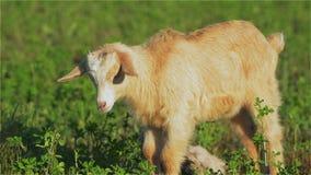 Geit, Goatling, Kiddy, Jong geitje, Snuit, Ogen, Bruin Kereltje, Zoogdier, Hoornen, Melk, Landbouwbedrijf stock videobeelden
