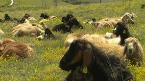 Geit in gras (van kapadokya) stock videobeelden