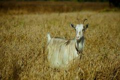 Geit in het droge gras royalty-vrije stock fotografie