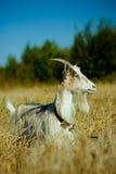 Geit in het droge gras royalty-vrije stock foto's