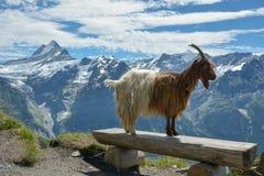 Geit het model stellen in Swisss-Alpen stock afbeelding