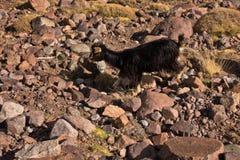 Geit in het Nationale Park van Toubkal bij Hoge Atlasbergen, Marokko stock foto