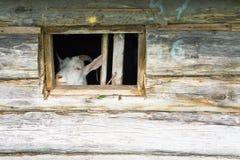 Geit in het venster Royalty-vrije Stock Foto
