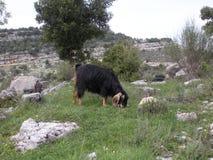 Geit het Weiden in Libanon Stock Afbeeldingen