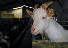 Geit in landbouwbedrijf Royalty-vrije Stock Afbeeldingen