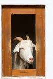 Geit in landbouwbedrijfvenster Royalty-vrije Stock Afbeeldingen