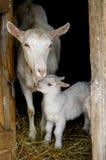 Geit met de jonge geitjes tegen de zwarte achtergrond Royalty-vrije Stock Foto's