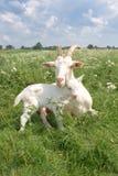 Geit met een pasgeboren jong geitje. Stock Fotografie