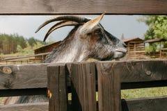 Geit met hoornen op een landbouwbedrijf buiten op een houten omheining Stock Foto