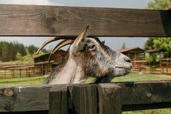 Geit met hoornen op een landbouwbedrijf buiten op een houten omheining Stock Foto's
