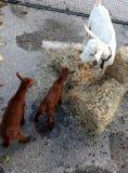 Geit met twee jonge geitjes Stock Fotografie