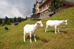 Geit op de Berg Royalty-vrije Stock Foto's
