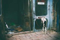 Geit op de straten van Delhi Stock Foto