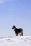 Geit op wit sneeuwgebied in Sierra DE Maria, Almeria, Spanje Royalty-vrije Stock Fotografie