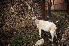 Geit Portret van een geit op een landbouwbedrijf in het dorp Het mooie geit stellen royalty-vrije stock fotografie
