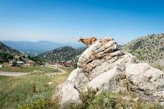 Geit in Turks platteland Stock Foto