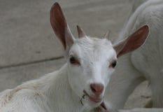 Geit van het Inquisitve de witte jonge geitje royalty-vrije stock afbeeldingen