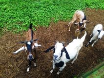 4 geiten stock foto's