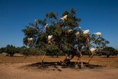 Geiten in Argan Argania-spinosaboom, Marokko royalty-vrije stock afbeeldingen