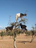 Geiten in Argan boom, Marokko stock afbeelding
