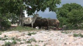 Geiten bij Bulgaars platteland stock video